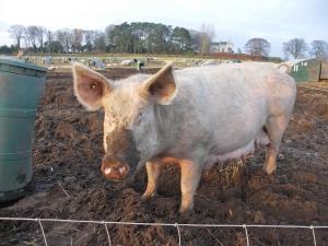 un cochon qui mange